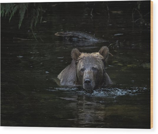 Grizzly Swimmer Wood Print