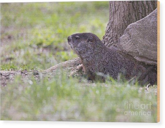 Groundhog Wood Print
