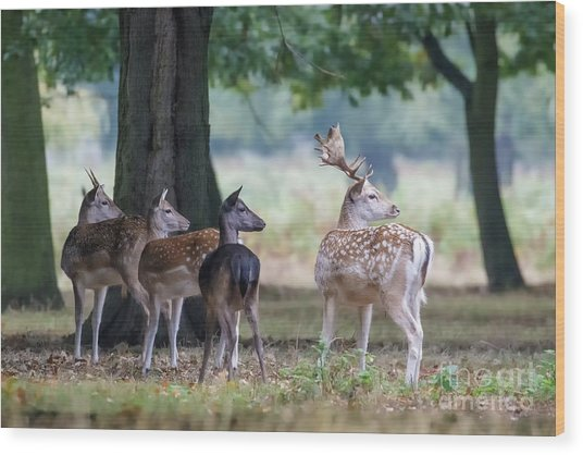 Wood Print featuring the photograph Group Of Four Fallow Deer - Dama Dama - Startled By Something On T by Paul Farnfield