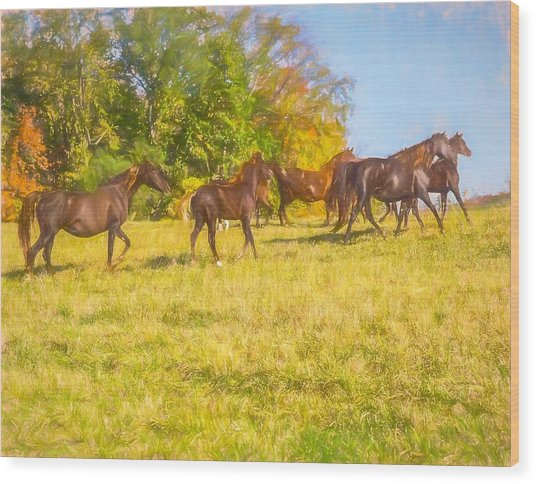 Group Of Morgan Horses Trotting Through Autumn Pasture. Wood Print