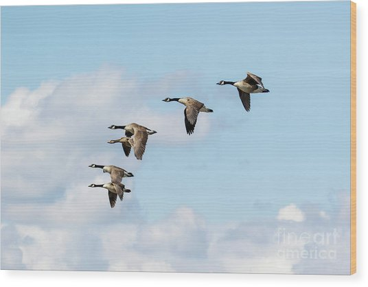 Wood Print featuring the photograph Group Or Gaggle Of Canada Geese - Branta Canadensis - Flying, In F by Paul Farnfield