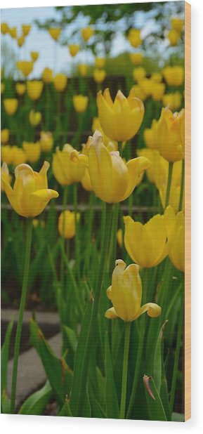 Grouping Of Yellow Tulips Wood Print