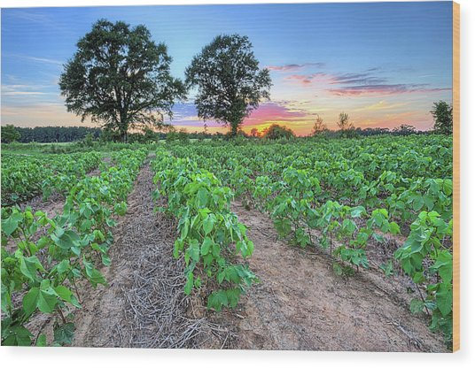 Growing Cotton Wood Print by JC Findley