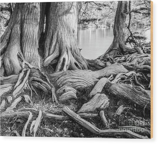 Guadalupe Bald Cypress In Black And White Wood Print