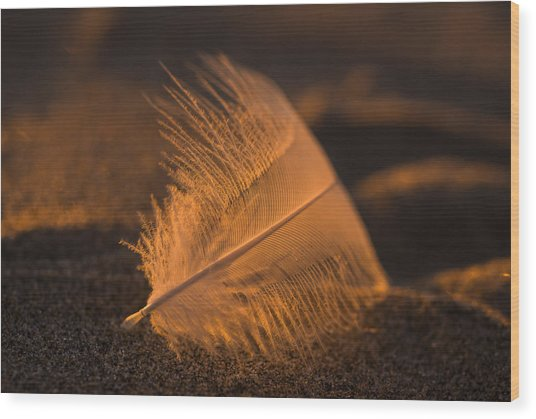 Gull Feather At Sunset Wood Print