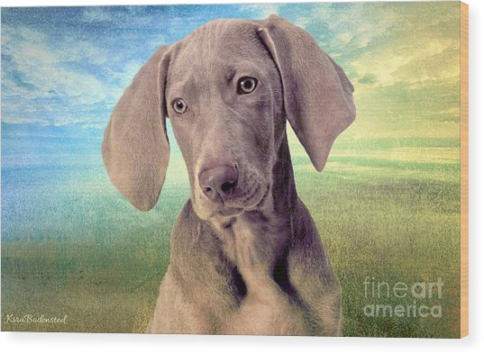 Gunshy Weimaraner Looking For Loving Home Wood Print