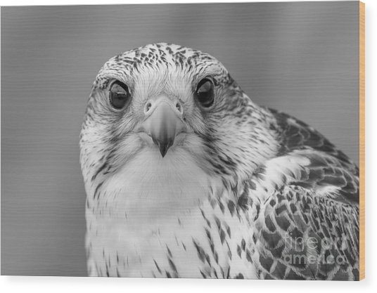 Gyr Falcon Portrait In Black And White Wood Print