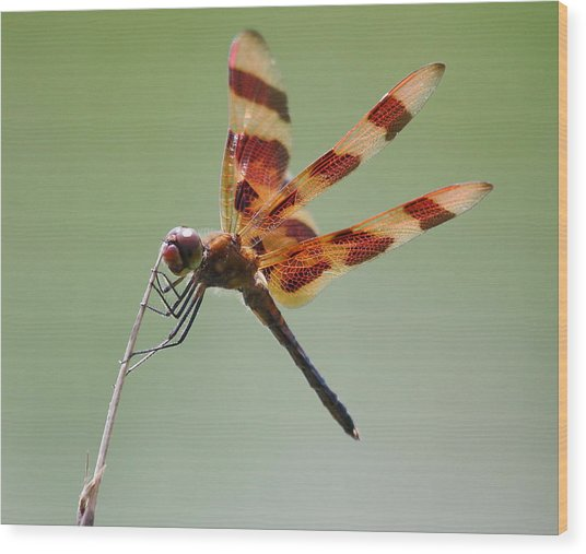 Halloween Pennant Dragonfly Wood Print by Larry Federman
