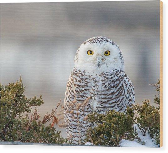Hampton Beach Nh Snowy Owl Wood Print