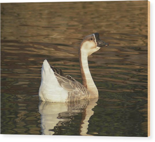 Handsome Domesticated Swan Goose Wood Print