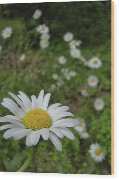 Happy Daisy Wood Print by JAMART Photography