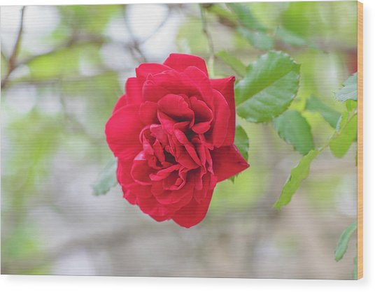 Wood Print featuring the photograph Happy Red Flower by Raphael Lopez
