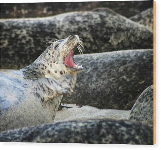 Harbor Seal Wood Print