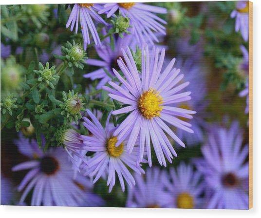 Hardy Blue Aster Flowers Wood Print