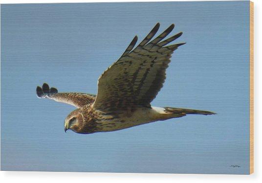 Harrier In Flight Wood Print