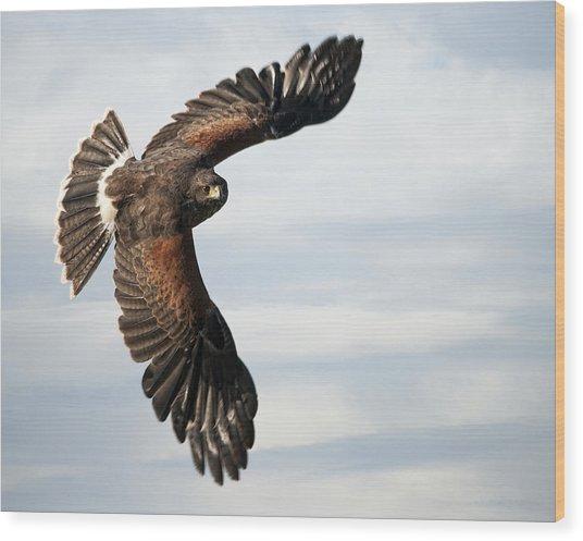 Harris Hawk 2 Wood Print