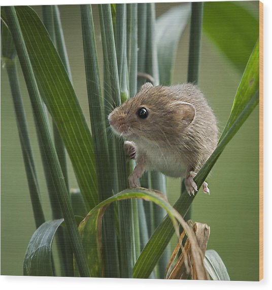 Harvest Mouse Close Up Wood Print by Philip Pound