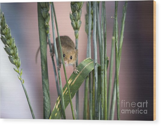 Harvest Mouse In Grass Wood Print by Philip Pound