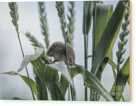 Harvest Mouse On Stalks Of Grass Wood Print by Philip Pound