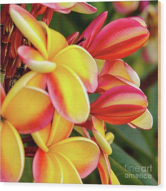 Hawaii Plumeria Flowers In Bloom Wood Print