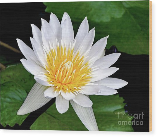 Hawaiian White Water Lily Wood Print