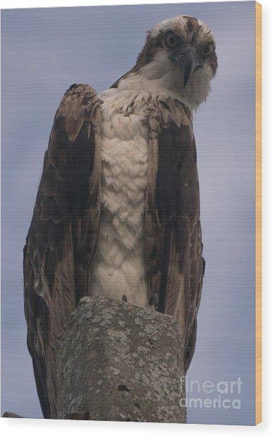 Hawk Attitude Wood Print