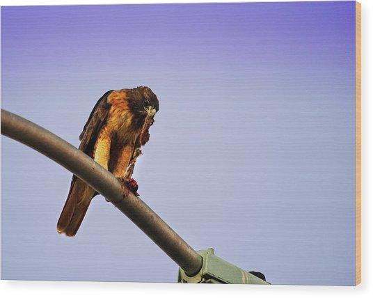 Hawk Eating Wood Print