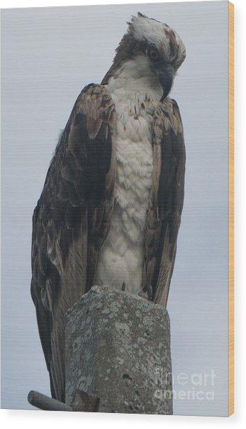 Hawk Facing Down Wood Print
