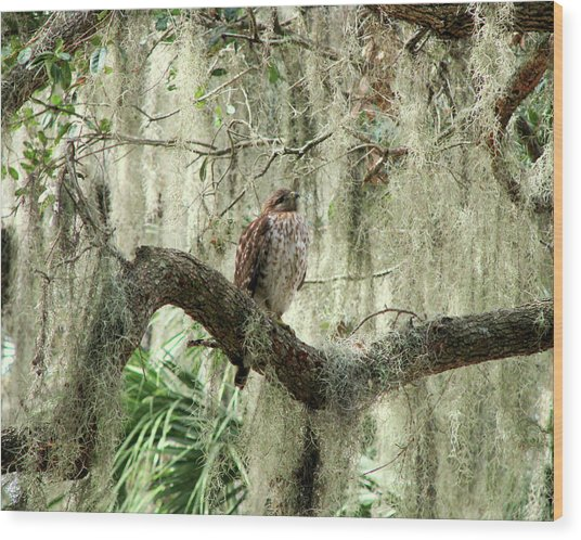 Hawk In Live Oak Hammock Wood Print