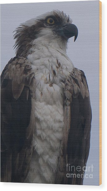 Hawk Looking Into The Distance Wood Print