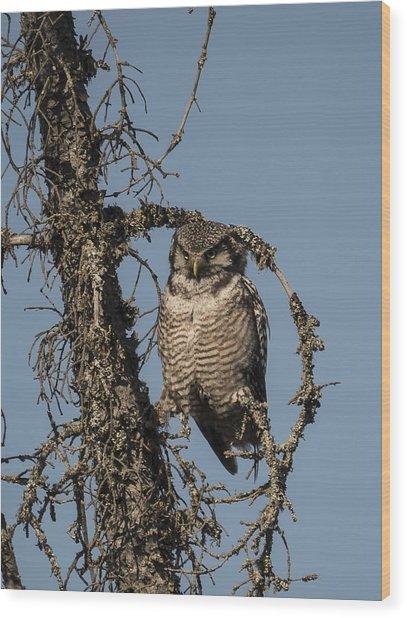 Hawk Owl Gaze Wood Print