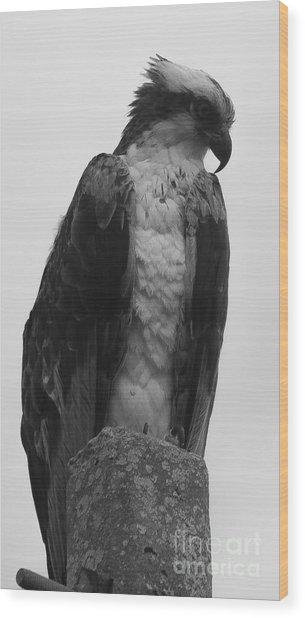 Hawk Perched Wood Print