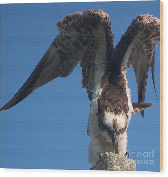 Hawk Prepares For Flight Wood Print