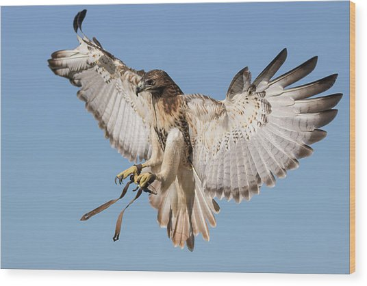 Hawk Showing Off Wood Print