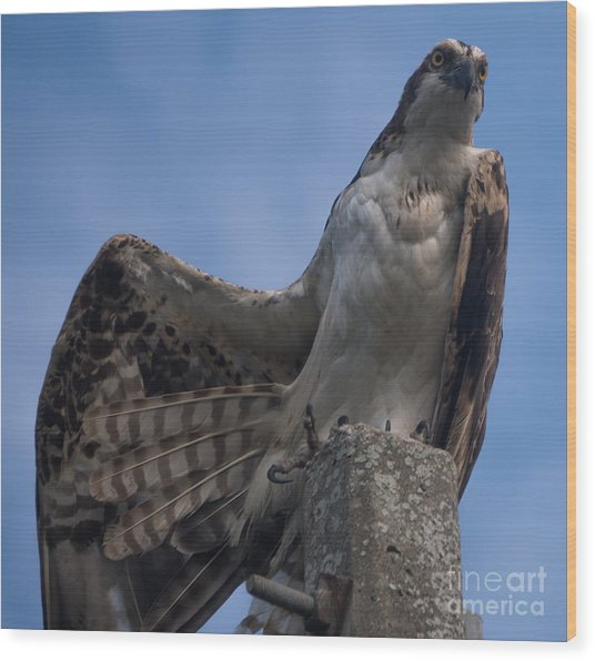 Hawk Stretching Wood Print