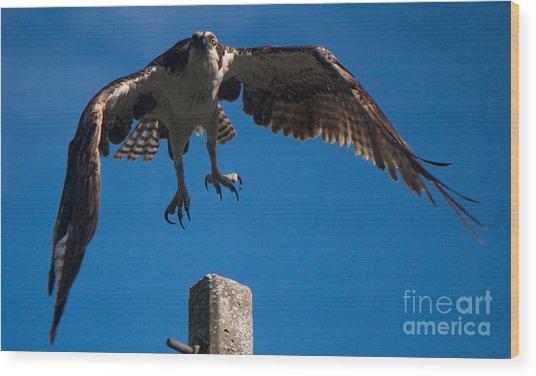 Hawk Taking Off Wood Print