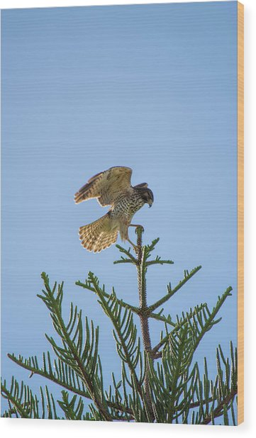 Hawk With Regal Landing Wood Print