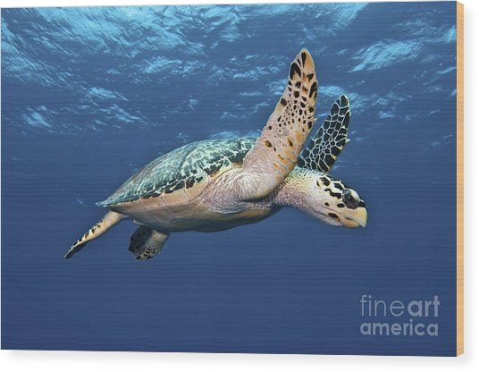 Wood Print featuring the photograph Hawksbill Sea Turtle In Mid-water by Karen Doody