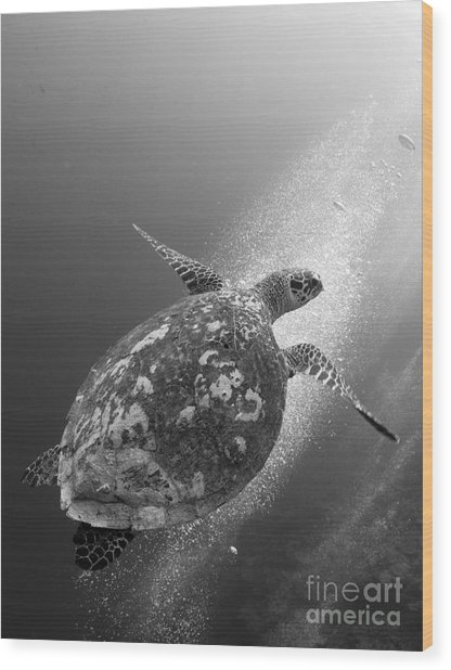 Hawksbill Turtle Ascending Wood Print