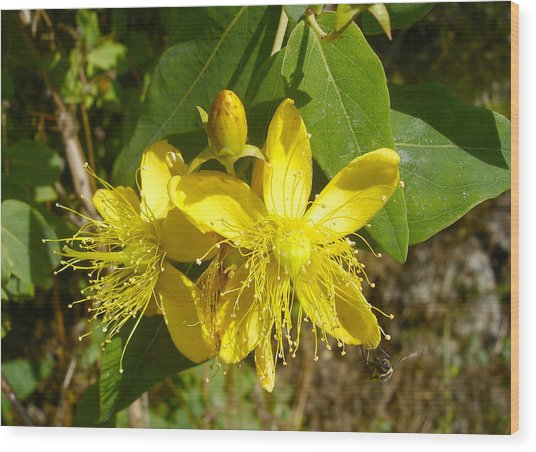 Healthy Beauty - St John's Wort In Blossom Wood Print