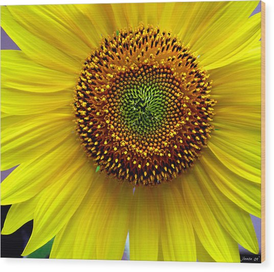 Heart Of A Sunflower Wood Print