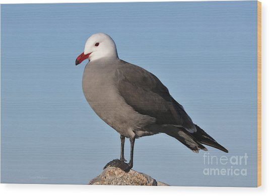 Heermann's Gull In Breeding Plumage Wood Print