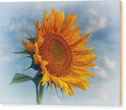 Helianthus Annuus Greeting The Sun Wood Print