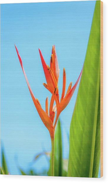 Heliconia Flower Wood Print