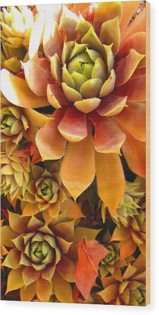 Hen And Chicks - Perennial Wood Print