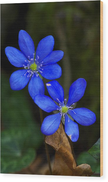 Hepatica Nobilis Wood Print