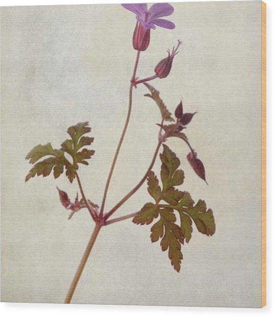 Herb Robert - Wild Geranium  #flower Wood Print