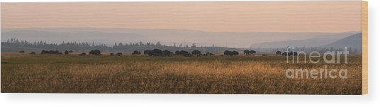 Herd Of Bison Grazing Panorama Wood Print