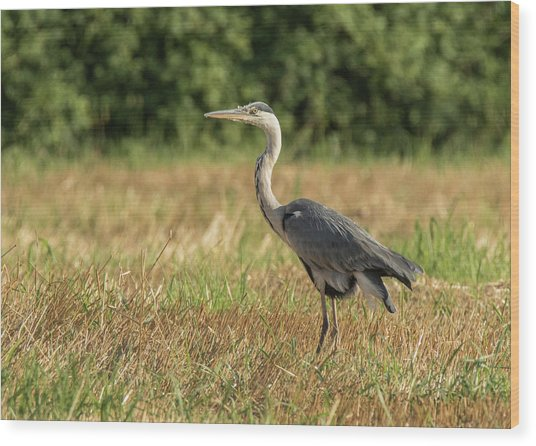 Heron In The Field Wood Print