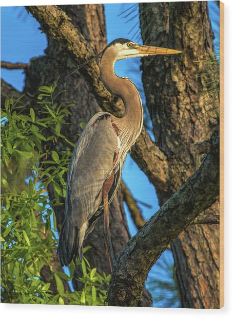 Heron In The Pine Tree Wood Print